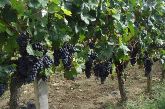 This viticole property - AOC Puisséguin Saint Emilion